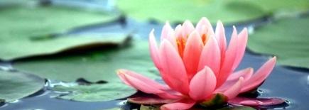 ピンクの水連の花