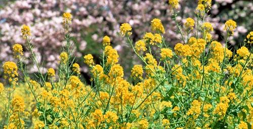 蕪島神社の菜の花畑 5月