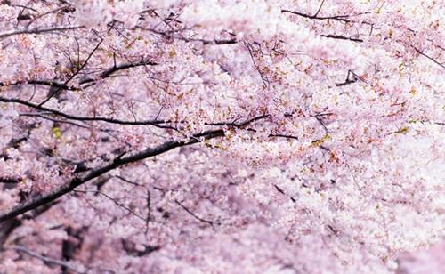 満開の桜 富士山パワースポット巡りは桜の本宮冨士浅間神社と鳴沢氷穴で決まり!!!