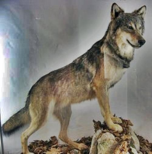 三峰神社 オオカミ