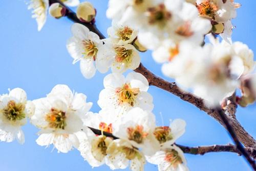白い梅の花