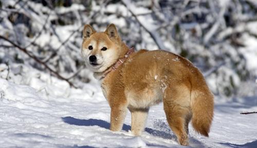 雪の中で寒そうな柴犬