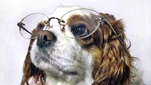 メガネをかけたテリヤ犬