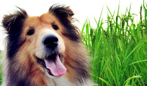 草原のシェルティー犬
