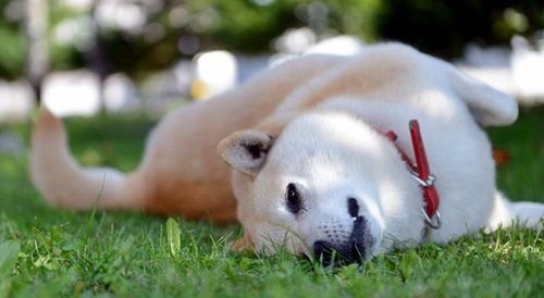 寝転ぶ柴犬
